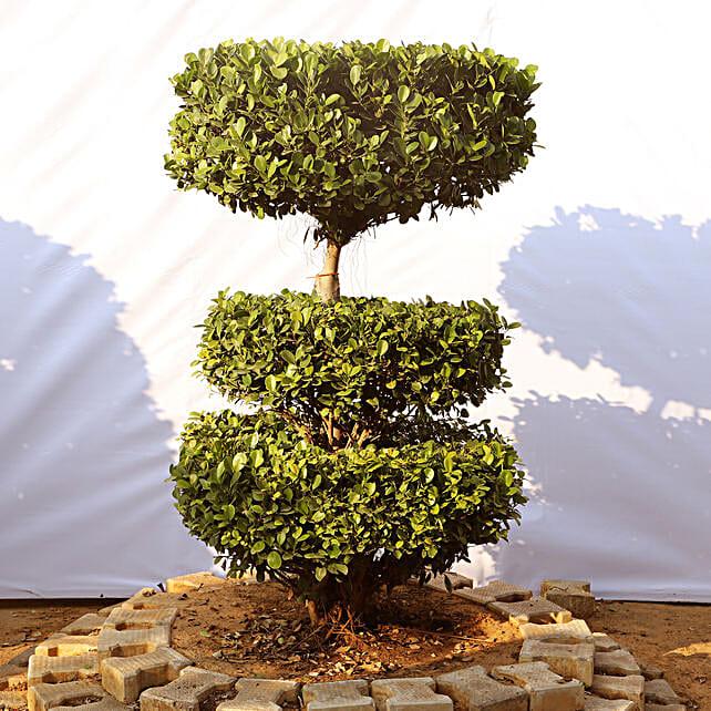 Outdoor Bonsai Plant Online