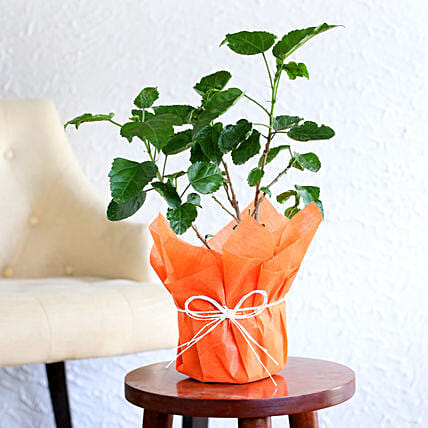 Hibiscus plant in a vase:Plants Delivery