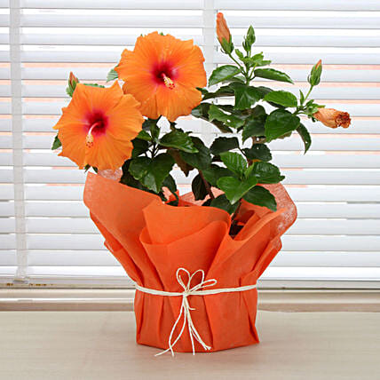 Hibiscus plant in a vase:Potted Plants