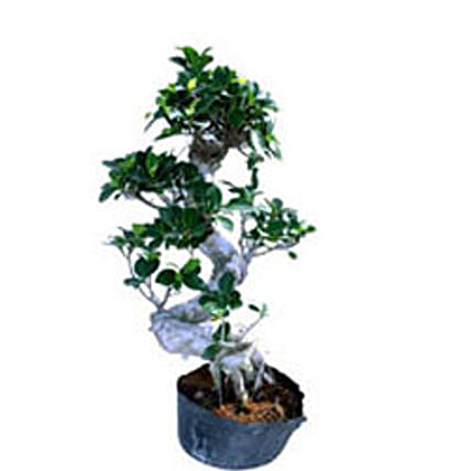 Bonsai Ficus S Shape By FNP