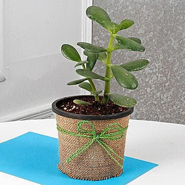 Cute Crassula Ovata Plant