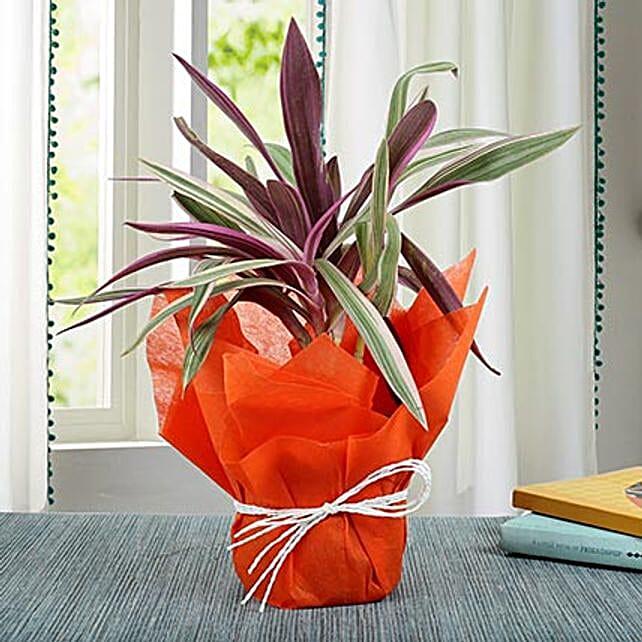 Elegantly Potted Roheo Plant