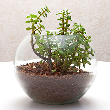 Jade plant in a round glass vase plants gifts:Office Desk Plants