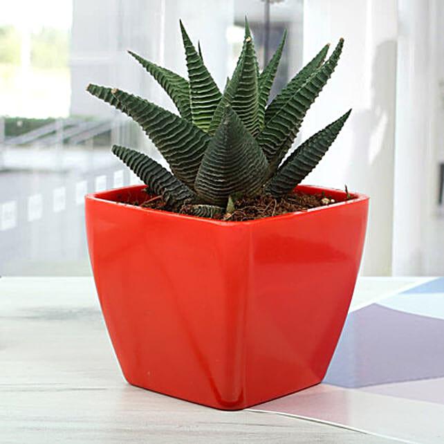 Haworthia limifolia keithii plant in a red plastic vase
