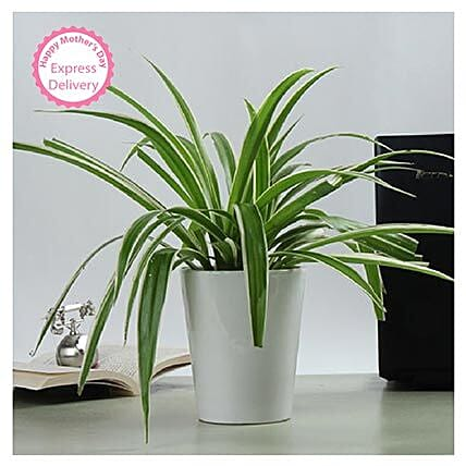 Mothers Day Spl Potted Spider Plant by FNP