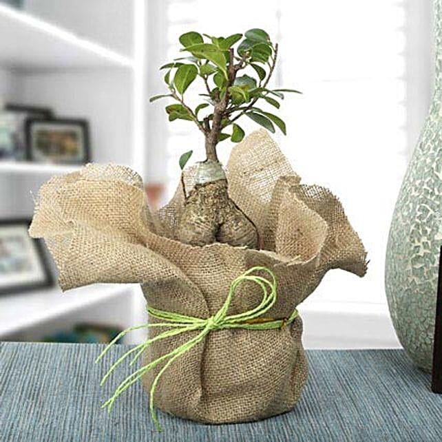 Picturesque Ficus Ginseng Bonsai Plant