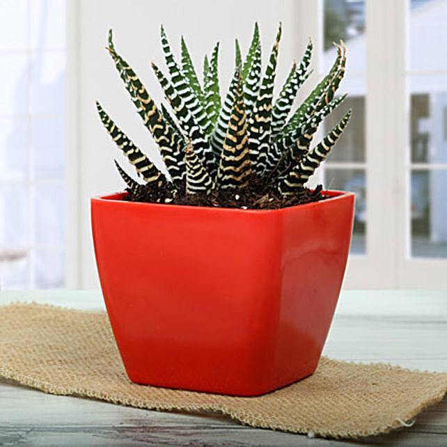 Haworthia attenuata V britteniana plant in a red plastic vase