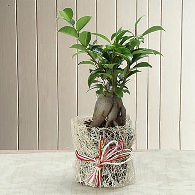 I shaped ficus plant:Bonsai Plants