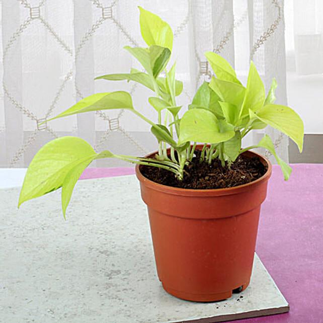 Money Plant Tree