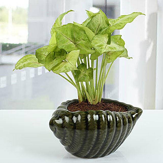 Dark green Shell Shape Plant
