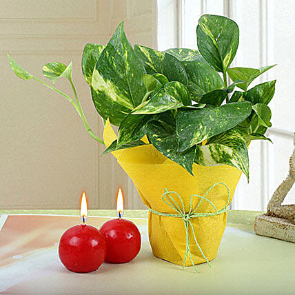 Combo of Money Plant and Scented Candles:Buy Candles