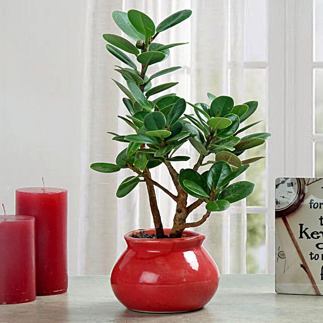 Ficus dwarf plant in a planter