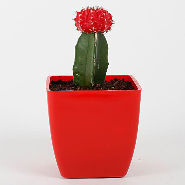 cactus plant in bright red vase