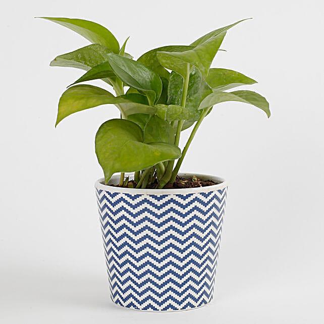 Refreshing Green Money Plant
