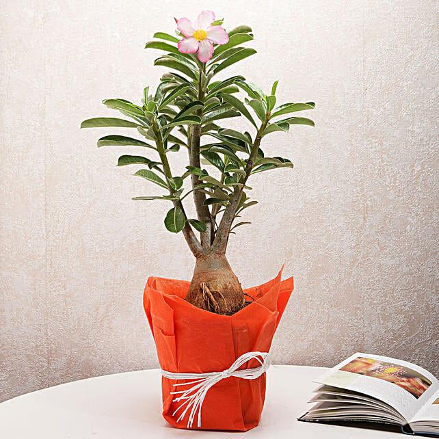 Adenium plant in a vase