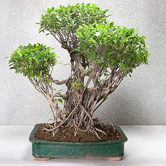 25 Year Old Ficus Bonsai Tree Gift Premium Bonsai Plant In Blue Vase Ferns N Petals
