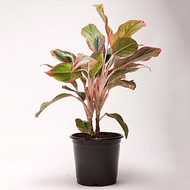 Red Aglaonema Plant in Black Plastic Pot