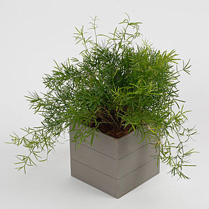 Buy Send Lush Green Asparagus Plant In Melamine Textured Pot Online Ferns N Petals