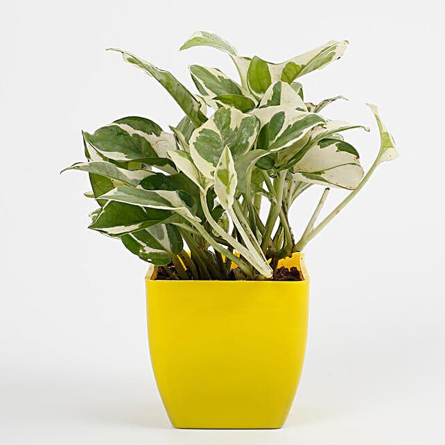 pothos plant in yellow vase