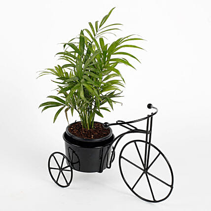 Chamaedorea Plant in Black Cycle Planter