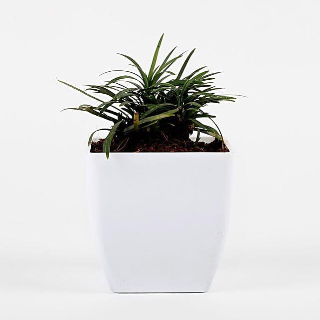 Mini China Grass Plant In White Imported Plastic Pot