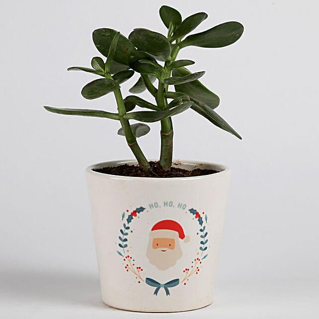 Crassula Ovata in Ceramic Pot for Christmas