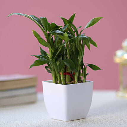 Special Bamboo 2 layer lucky bamboo :Gifts to Ankleshwar