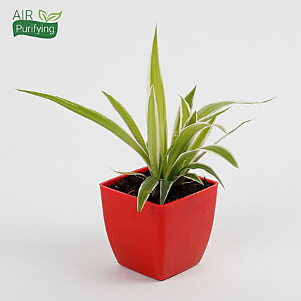 Spider Plant in Imported Plastic Pot