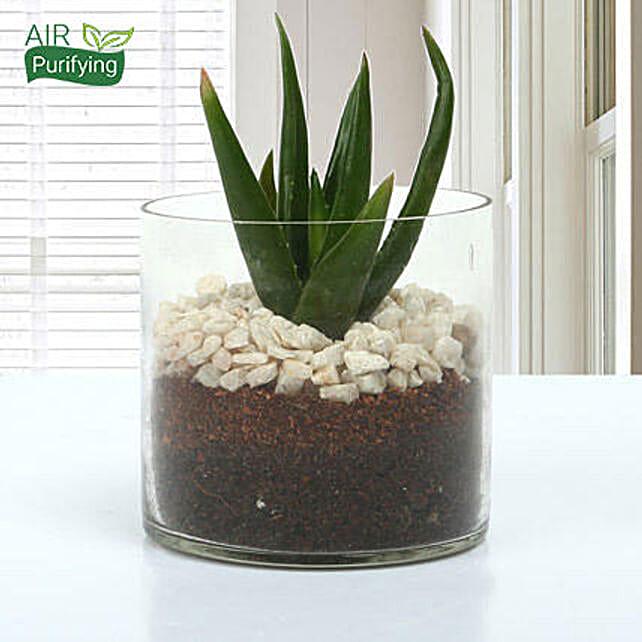 Aloe vera plant in a round glass vase:Office Desk Plants