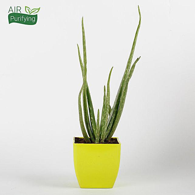 Aloe Vera Plant in Yellow Imported Plastic Pot