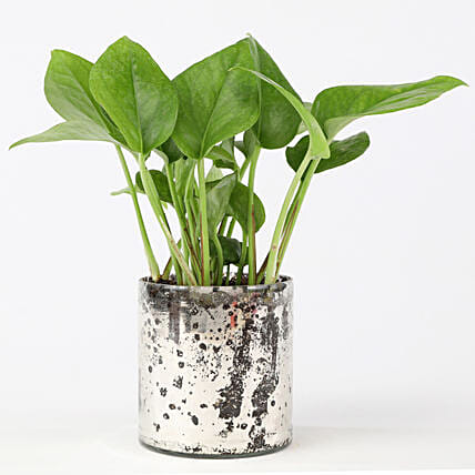 Money Plant with Glass Planter Online:Glass Planters