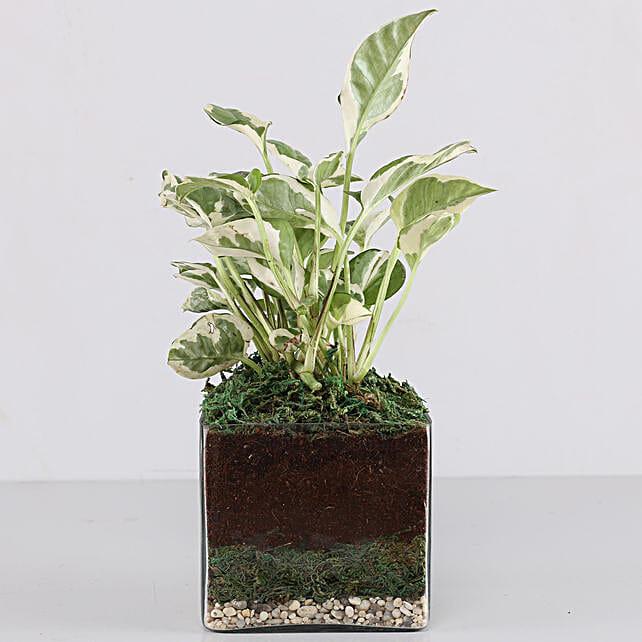 Online Money Plant Glass Terrarium