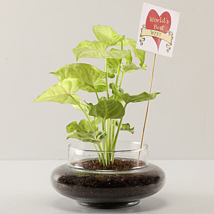 Syngonium Plant For Best Wife
