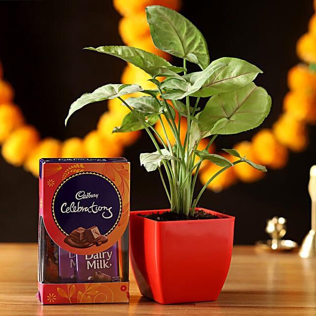 Syngonium Plant With Cadbury Celebrations