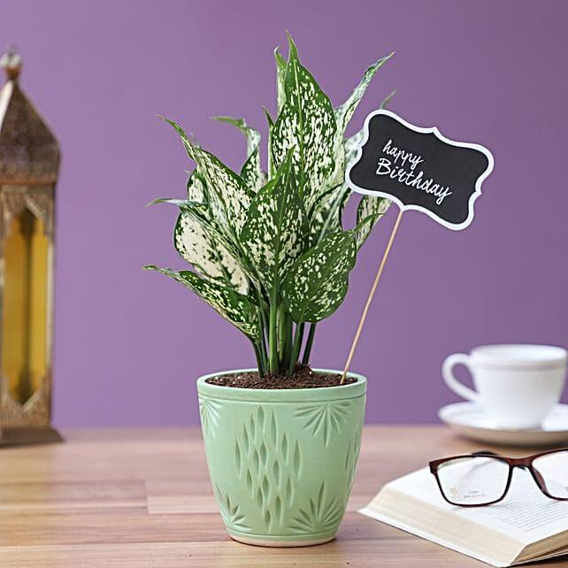 birthday aglaonema green plant in turquoise pot
