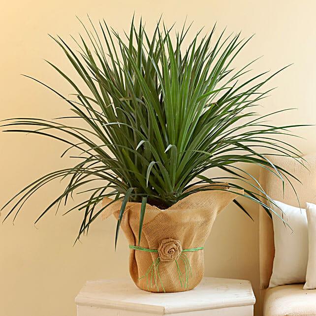 Beautiful Dracaena Draco Plant