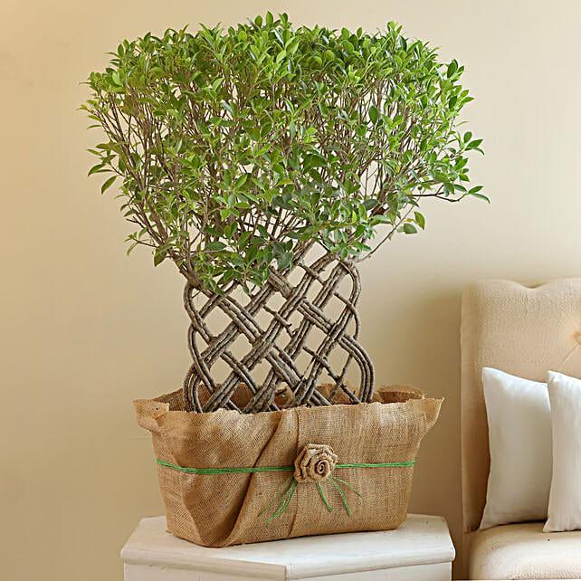 online ficus bonsai plant
