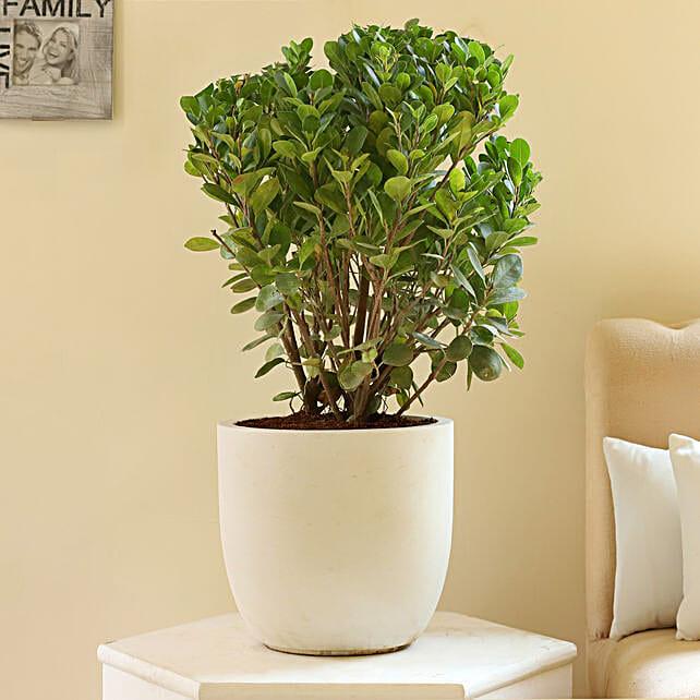 online bonsai plant