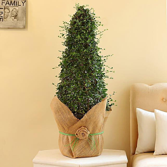 beautiful carmona bonsai plant online