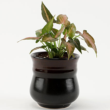 Pink Syngonium Plant in Carbon Brown Novelty Pot