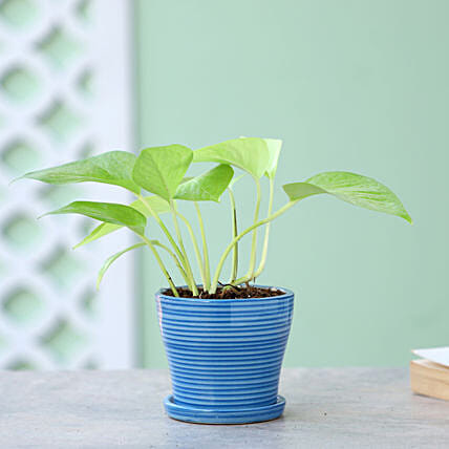 Golden Money Plant In Plate Pot