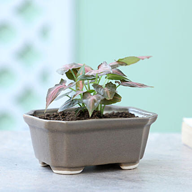 Pink Syngonium Plant In Mini Tray Pot