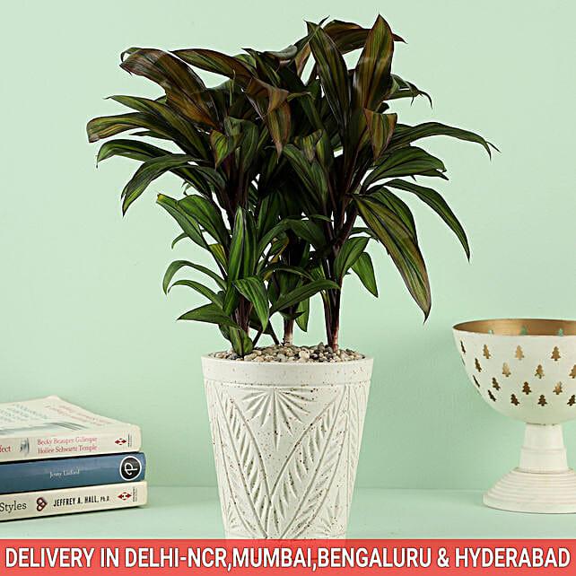 Cordyline Plant In Ceramic Carlysle Leaf Pot