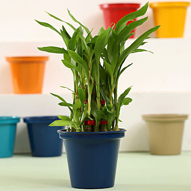 Lucky Bamboo Pot Plant