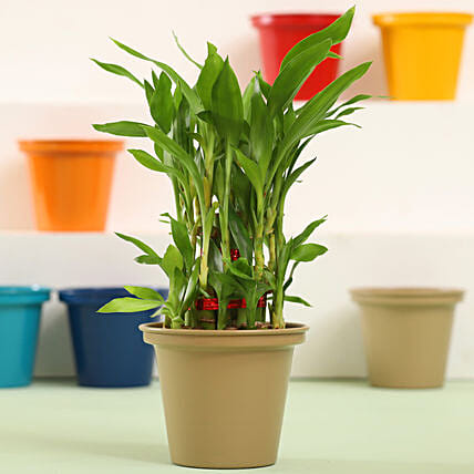 Online Lucky Bamboo Plant