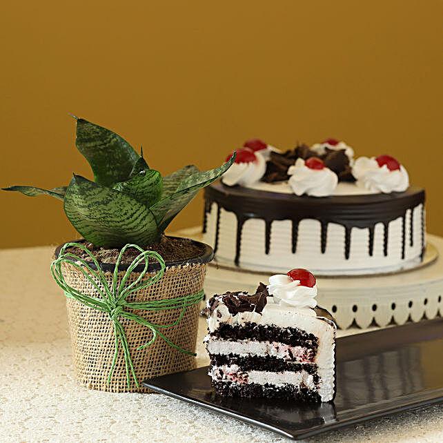 Sansevieria Plant & Eggless Black Forest Cake
