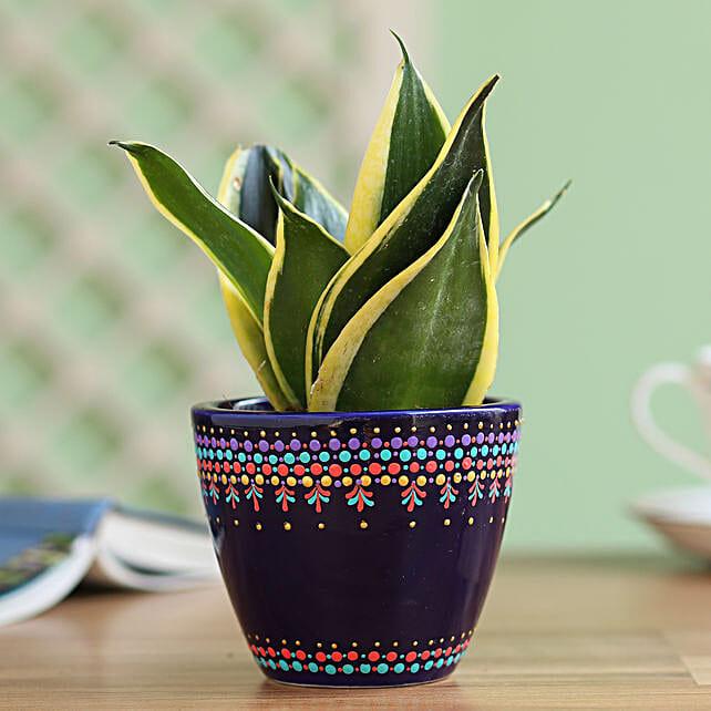 online sansavaria plant with attractive planter