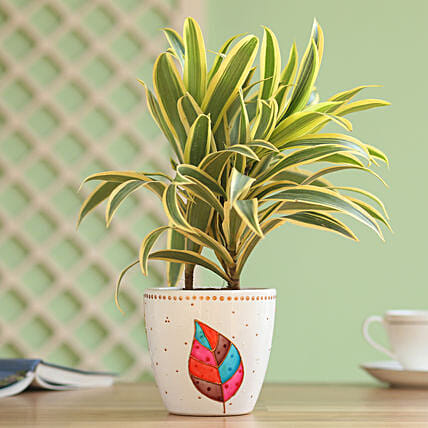 song of india plant with leaf painted planter
