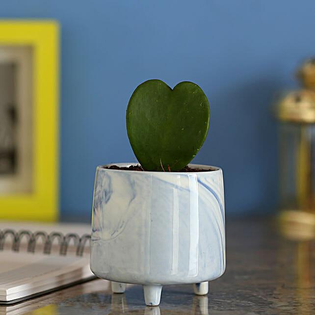 Hoya Plant In Ceramic Blue Pot