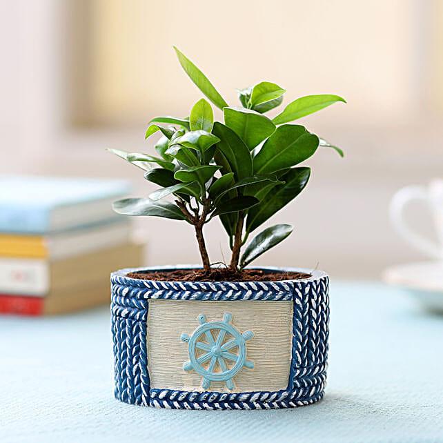 Resin Pot of Ficus Compacta